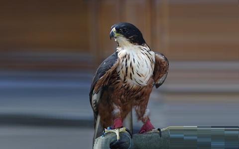 4Aigle-à-ventre-roux—Lophotriorchis-kienerii—Rufous-bellied-Hawk-Eagle