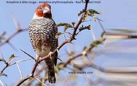 4Amadine-à-tête-rouge—Amadina-erythrocephala—Red-headed-Finch