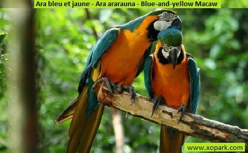 4Ara-bleu-et-jaune—Ara-ararauna—Blue-and-yellow-Macaw