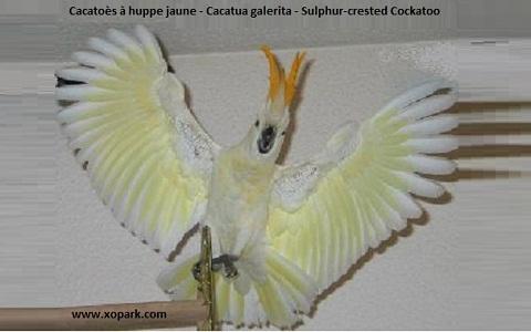 4Cacatoès-à-huppe-jaune—Cacatua-galerita—Sulphur-crested-Cockatoo