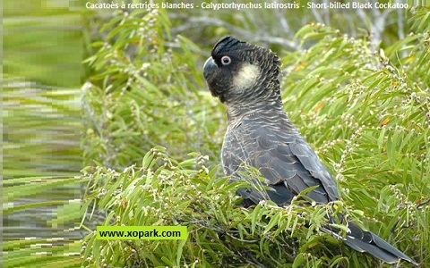 Cacatoès à rectrices blanches Calyptorhynchus latirostris Short-billed Black Cockatoo