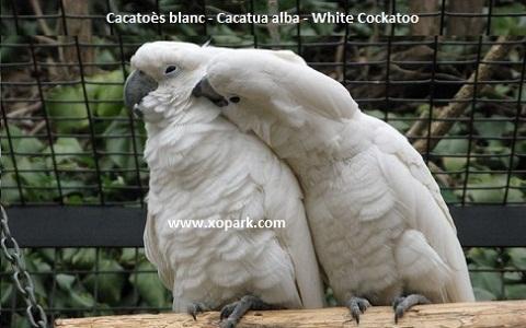 4Cacatoès-blanc—Cacatua-alba—White-Cockatoo