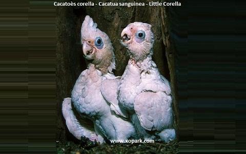 4Cacatoès-corella—Cacatua-sanguinea—Little-Corella