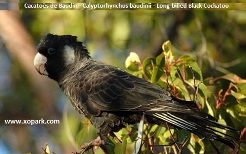 Cacatoès de Baudin Calyptorhynchus baudinii Long-billed Black Cockatoo
