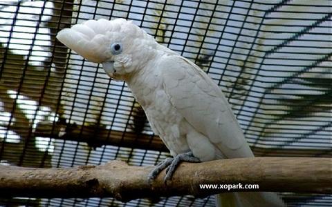 Ducorp's Cockatoo