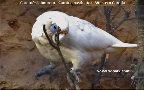 4Cacatoès-laboureur—Cacatua-pastinator—Western-Corella