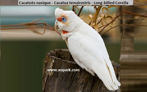 4Cacatoès-nasique—Cacatua-tenuirostris—Long-billed-Corella