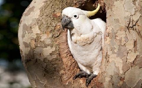 4Cacatoès-soufré—Cacatua-sulphurea—Yellow-crested-Cockatoo