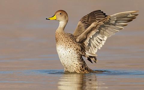 4Canard-à-queue-pointue—Anas-georgica—Yellow-billed-Pintail