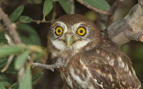 4Chevêche-brame—Athene-brama—Spotted-Owlet