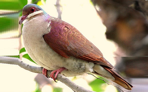 4Colombe-à-joues-blanches—Geotrygon-chrysia —Key-West-Quail-Dove