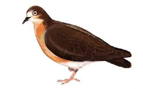 4Colombe-de-Grenade—Leptotila-wellsi—Grenada-Dove