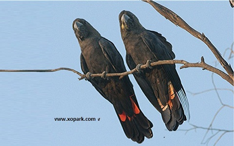 4Glossy-Black-Cockatoo—Calyptorhynchus-lathami—Cacatoès-de-Latham