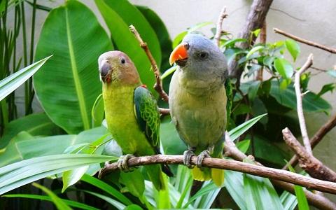 4Perruche-à-croupion-bleu—Psittinus-cyanurus—Blue-rumped-Parrot