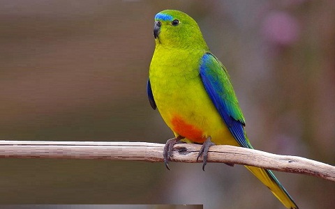 4Perruche-à-ventre-orange—Neophema-chrysogaster—Orange-bellied-Parrot