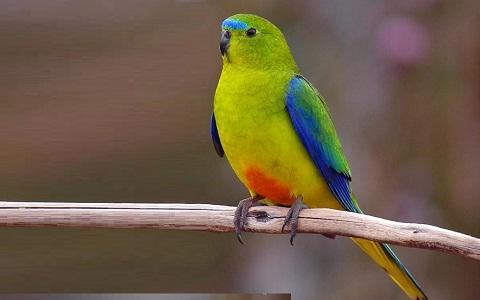4Perruche-à-ventre-orange—Neophema-chrysogaster—Orange-bellied-Parrot