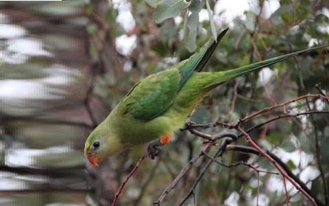 4Perruche-de-Barraband—Polytelis-swainsonii—Superb-Parrot