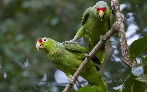 4Perruche-de-Buru—Tanygnathus-gramineus—Black-lored-Parrot