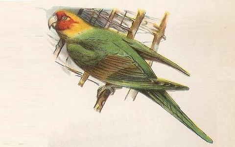 4Perruche-de-Caroline—Conuropsis-carolinensis—Carolina-Parakeet