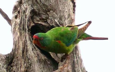 4Perruche-de-Latham—Lathamus-discolor—Swift-Parrot