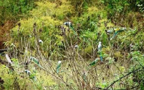 4Perruche-de-Malabar—Psittacula-columboides—Blue-winged-Parakeet