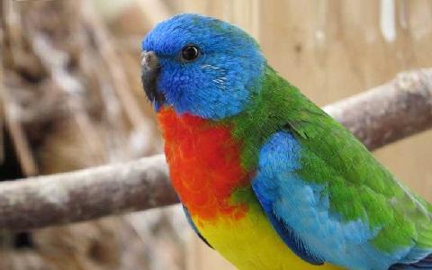 4Perruche-splendide—Neophema-splendida—Scarlet-chested-Parrot