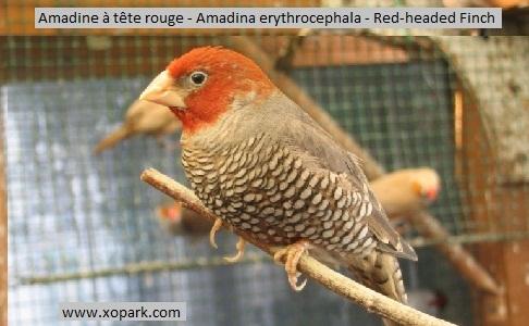5Amadine-à-tête-rouge—Amadina-erythrocephala—Red-headed-Finch