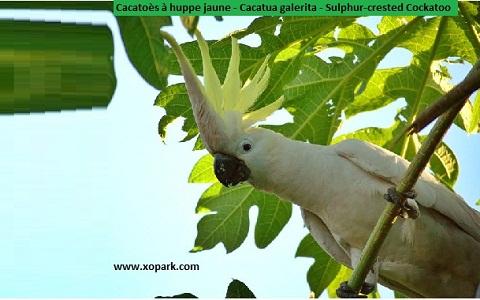 Cacatoès à huppe jaune Cacatua galerita Sulphur-crested Cockatoo