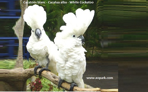 5Cacatoès-blanc—Cacatua-alba—White-Cockatoo