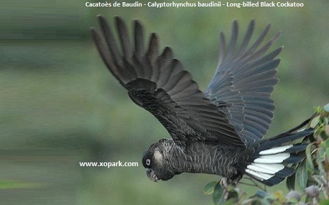 5Cacatoès-de-Baudin—Calyptorhynchus-baudinii—Long-billed-Black-Cockatoo