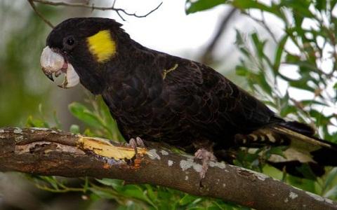 5Cacatoès-funèbre—Calyptorhynchus-funereus—Yellow-tailed-Black-Cockatoo