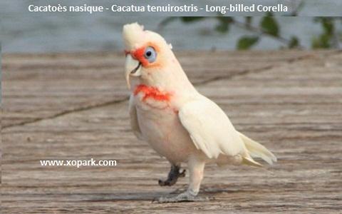 5Cacatoès-nasique—Cacatua-tenuirostris—Long-billed-Corella