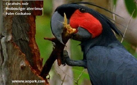 5Cacatoès-noir—Probosciger-aterrimus—Palm-Cockatoo