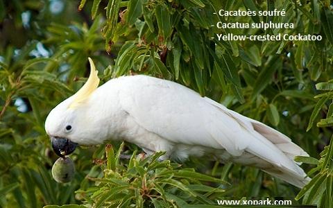 5Cacatoès-soufré—Cacatua-sulphurea—Yellow-crested-Cockatoo