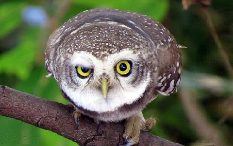 5Chevêche-brame—Athene-brama—Spotted-Owlet
