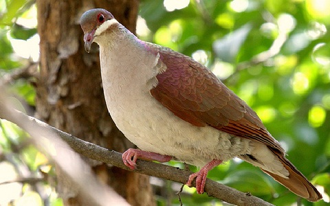 5Colombe-à-joues-blanches—Geotrygon-chrysia —Key-West-Quail-Dove