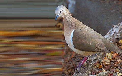 5Colombe-de-Grenade—Leptotila-wellsi—Grenada-Dove