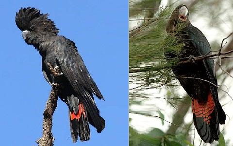 5Glossy-Black-Cockatoo—Calyptorhynchus-lathami—Cacatoès-de-Latham