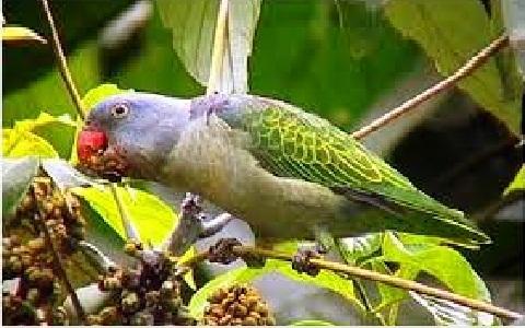 5Perruche-à-croupion-bleu—Psittinus-cyanurus—Blue-rumped-Parrot