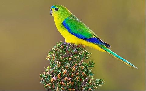 5Perruche-à-ventre-orange—Neophema-chrysogaster—Orange-bellied-Parrot