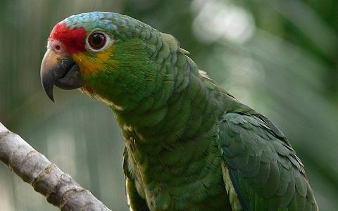 5Perruche-de-Buru—Tanygnathus-gramineus—Black-lored-Parrot