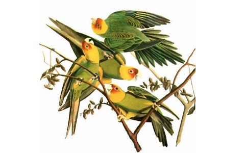 5Perruche-de-Caroline—Conuropsis-carolinensis—Carolina-Parakeet