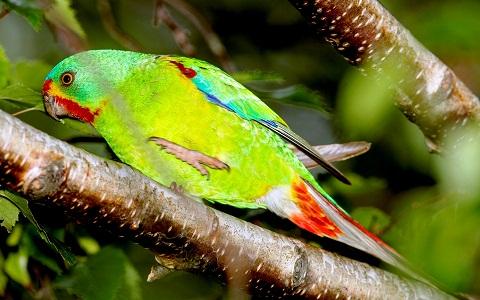 5Perruche-de-Latham—Lathamus-discolor—Swift-Parrot