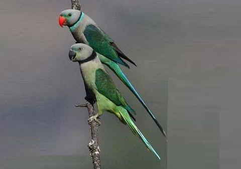 5Perruche-de-Malabar—Psittacula-columboides—Blue-winged-Parakeet