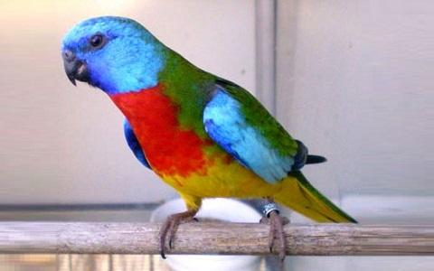 5Perruche-splendide—Neophema-splendida—Scarlet-chested-Parrot