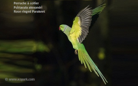 5perruche-à-collier—Psittacula-alexandri—Red-breasted-Parakeet
