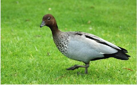 Canard à crinière Chenonetta jubata Maned Duck