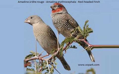 6Amadine-à-tête-rouge—Amadina-erythrocephala—Red-headed-Finch