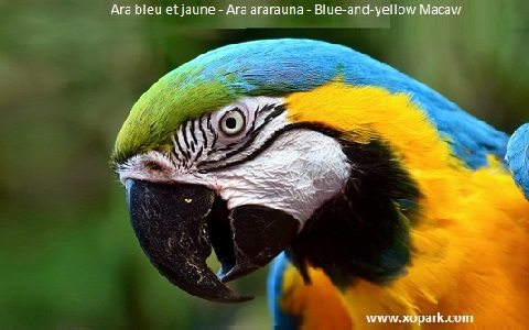 6Ara-bleu-et-jaune—Ara-ararauna—Blue-and-yellow-Macaw