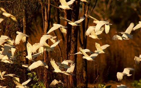 6Cacatoès-blanc—Cacatua-alba—White-Cockatoo